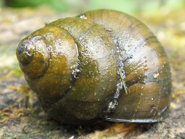 Fresh water snail flickr photo sharing for Garden pond snails