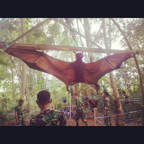 Giant Golden Crowned Flying Fox. Clearest, most-detailed pic I've seen ...
