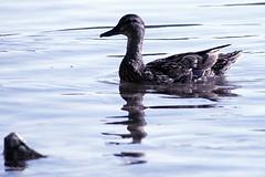 Duck at Douglas Lake