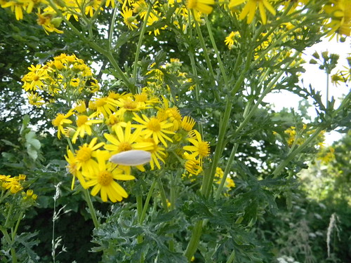 Ragwort with bug