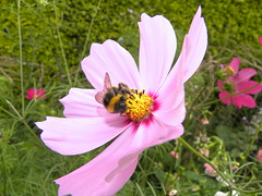annual plant, flower, garden cosmos, plant, invertebrate, insect, macro photography, wildflower, flora, fauna, meadow, cosmos, bee, pink, petal,