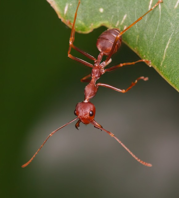 why ants are everywhere Since last few months, our house has been swarmed with red ants everywhereright from kitchen, eatables, sugary or not, non eatables, following on beds, sofas, clothes, dining everywhere and in huge numbers.