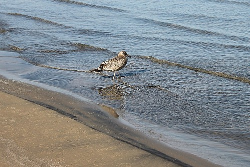 Female Ring-Billed Gull Going Into Water At Wasaga Beach