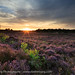 Blooming heather at the heathland near Bakkeveen. by Ron ter Burg