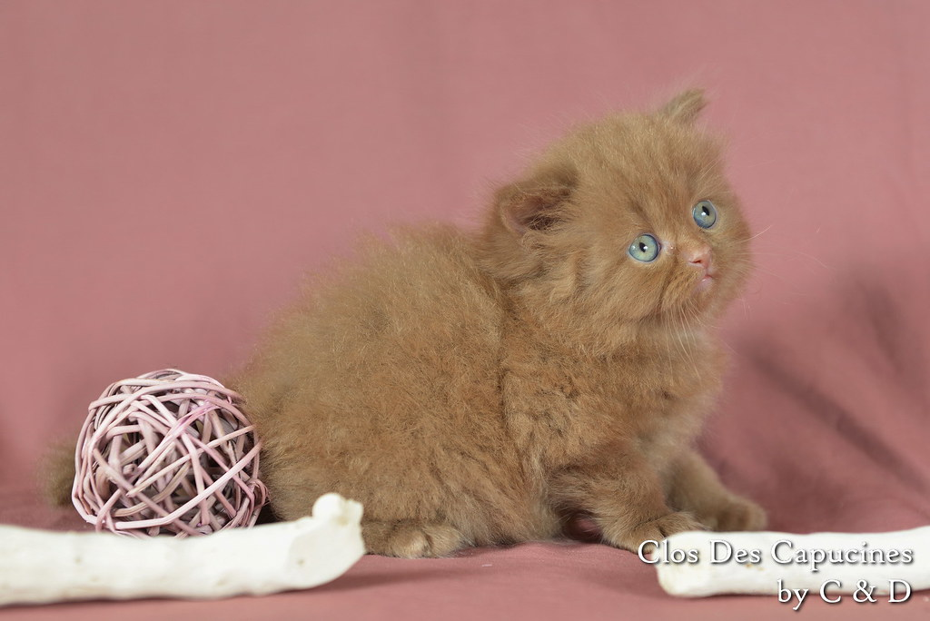 Hollister du Clos des Capucines, chaton 1 mois mâle British Longhair cinnamon