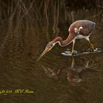 Tri-Colored Heron at Richard DeKorte Park (Meadowlands), Lyndhurst, NJ