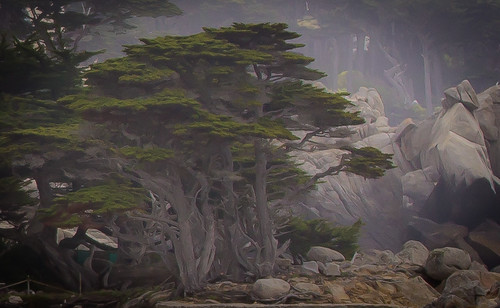 cypress trees in Pebble Beach