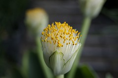 Shaving Brush Lily - Haemanthus albflos