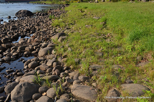 Bank Erosion and Regeneration, Hudson River, Riparius/Riverside, NY