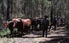 Peter Avery and Reg Wade snigging pit timber with a bullock team at Garden Gully, Congewai, NSW, 8 December 1983.