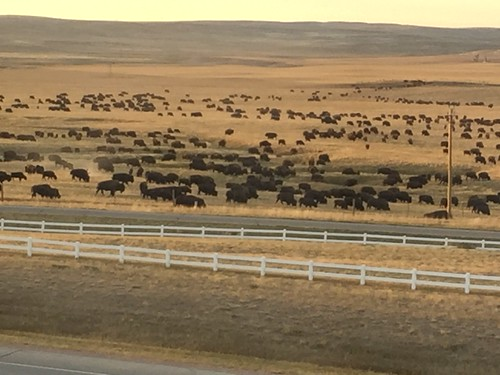the Wright Wyoming bison herd