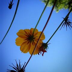 Flower in Mom's backyard. @lizbethanngage54  #penycat #pbpenycat #flowers #colorado #cityofdenver #backyard