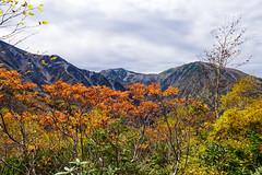 ナナカマドと雪倉岳