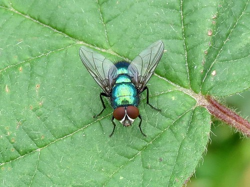 Greenbottle - Lucilia caesar