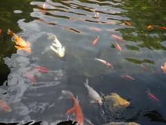 fish pond, marine biology, koi, reflection, pond,