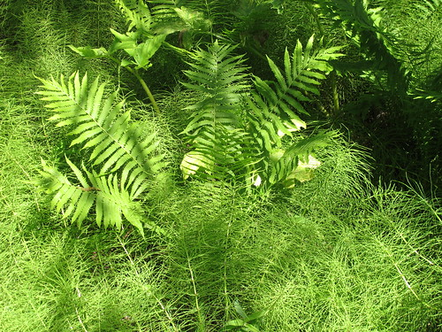 Liard Hot Springs - ferns close up