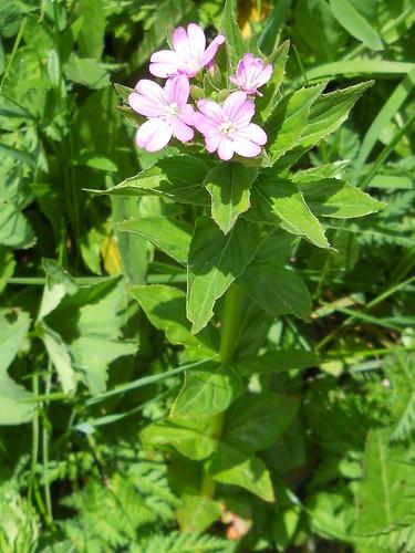 Alpine Willowherb (Epilobium alpestre)