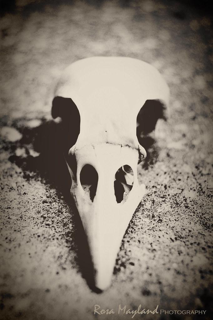 Seagul skull 1 10 bis