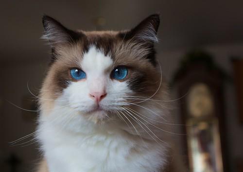 Our ragdoll cat Bailey by Daniel Scott, on Flickr