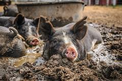 farm(0.0), animal(1.0), wild boar(1.0), domestic pig(1.0), pig(1.0), fauna(1.0), pig-like mammal(1.0), wildlife(1.0),