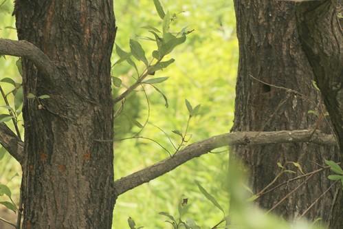 シロスジカミキリ産卵、羽脱跡