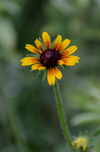Black-eyed Susan_9750.jpg