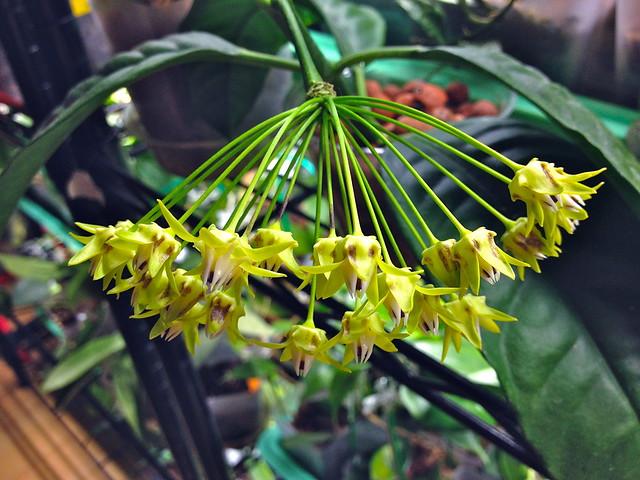 Hoya javanica
