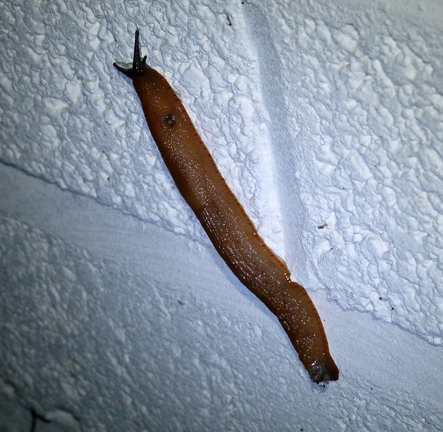 27587 - Black Slug