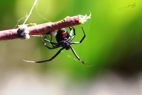 Hembra Viuda Negra / Female Black Widow