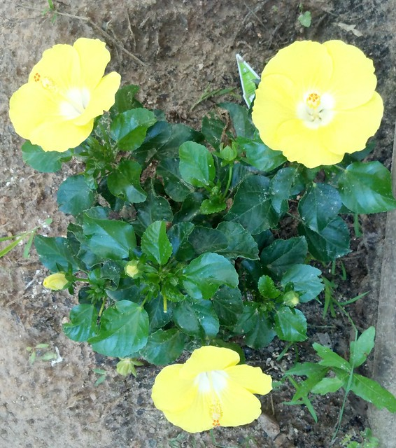 Yellow Hibiscus Trio1a