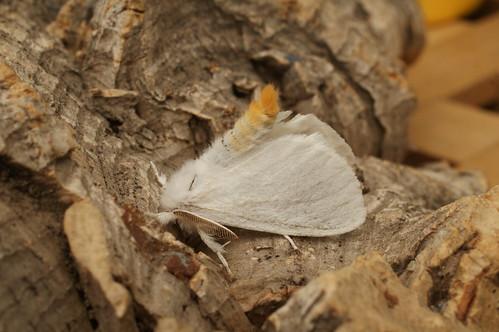 Yellow-tail (Euproctis similis)