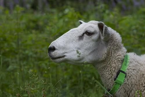 [フリー画像素材] 動物 1, 羊・ヒツジ ID:201210191000