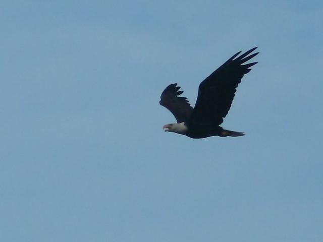 Bald Eagle 20120724
