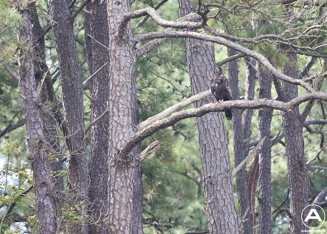 Juvenile Bald Eagle sitting in a tree