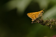 Fiery Skipper / Hylephila Phyleus[7.29.2012]