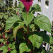Celosia-on-stem