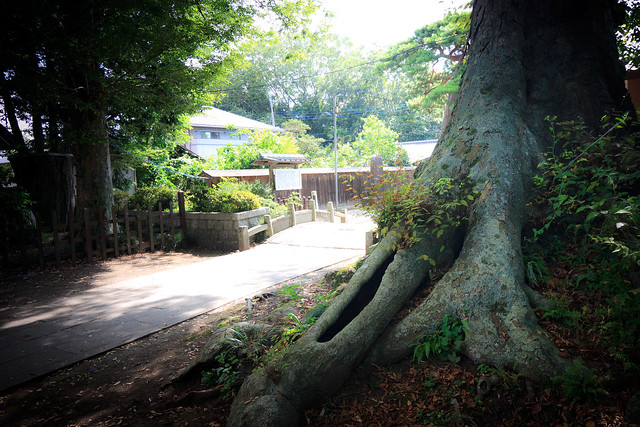 #51 The Giant Zelkova of Senju Temple