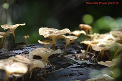 Mushrooms growing on a rotting log