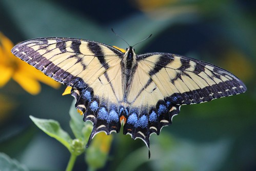 eastern tiger swallowtail by ricmcarthur