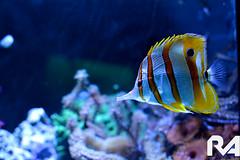 deep sea fish(0.0), coral reef(1.0), fish(1.0), coral reef fish(1.0), organism(1.0), marine biology(1.0), macro photography(1.0), underwater(1.0), reef(1.0), blue(1.0), pomacentridae(1.0), pomacanthidae(1.0), aquarium(1.0),