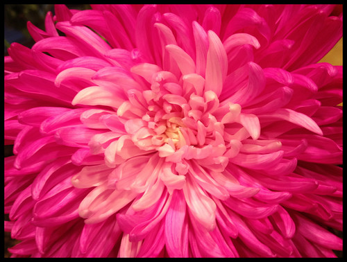 Bright Pink Flower