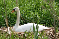 Mute Swan on well developed nest
