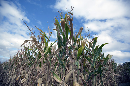 photo of withered corn in a field
