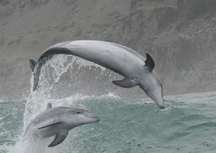 Bottlenose dolphins - Whale and dolphin watching in Peru with Nature Expeditions