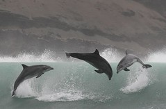 Bottlenose dolphins - Whale and dolphin watching in Peru with Nature Expedtions 16