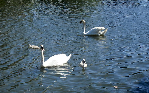 Cygnets, Beveridge Park, Kirkcaldy