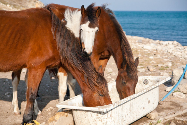 Horses drinking by the sea 2