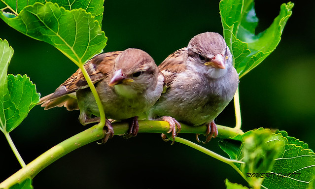 The Twins - Two Juvenile Houses Sparrows