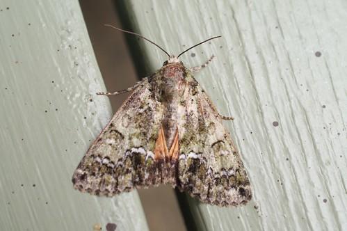 Guernsey Underwing (Polyphaenis sericata)