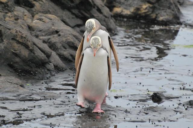 Waikawa, Curio bay Yellow-eyed Penguin